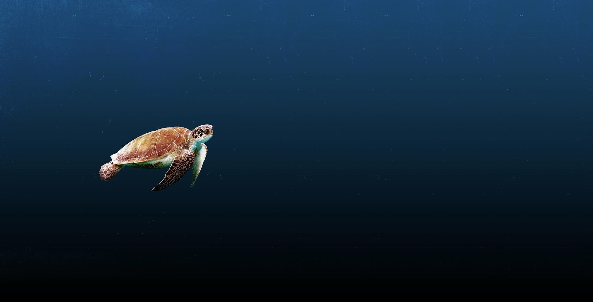 tortue en guadeloupe